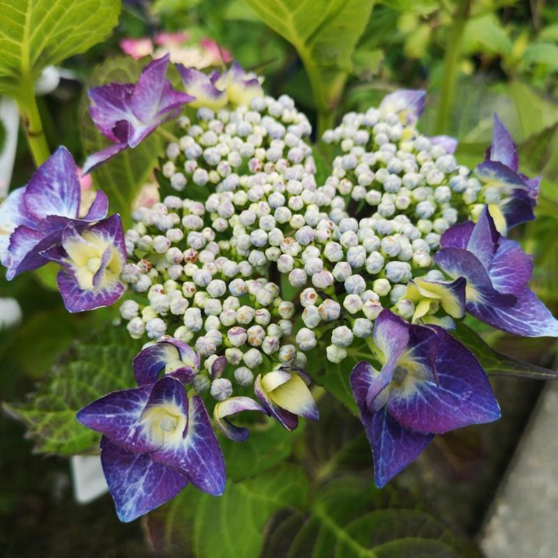 Hydrangea macrophylla Blaumeise (Teller Blue) / Hortensia
