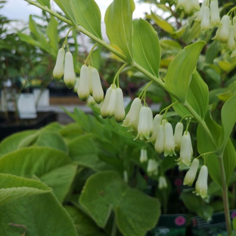 Polygonatum multiflorum / Storkonval