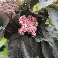 Sambucus nigra Black Tower - Rødbladet Søjlehyld