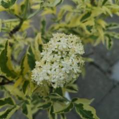 Sambucus nigra Madonna - Gulbroget Hyld