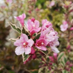 Weigela florida Magical Rainbow - Gulrandet Klokkebusk