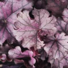 Heuchera hybrid Forever Purple - Alunrod