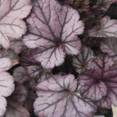 Heuchera hybrid Huckleberry / Alunrod