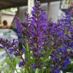 Salvia nemorosa Viola Klose / Staude salvia