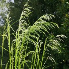 Stipa gigantea / Kæmpefjergræs