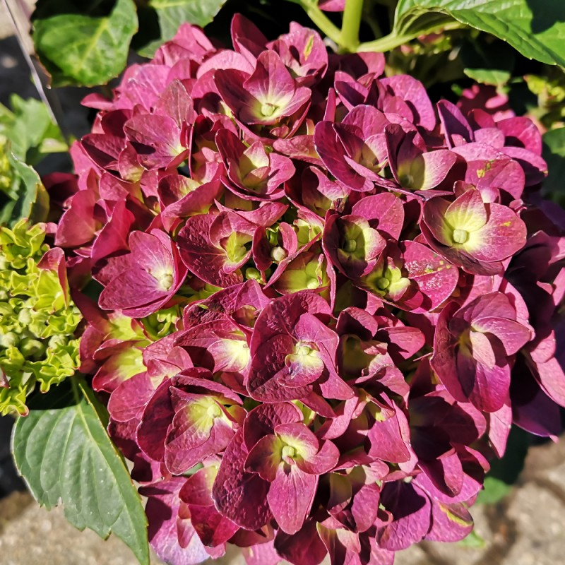 Hydrangea macrophylla Forever and Ever Purple - Havehortensia