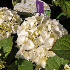 Hydrangea macrophylla Forever and Ever White - Havehortensia