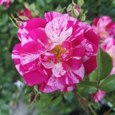 Rose Candy Cover / Bunddække rose Towne- og Country