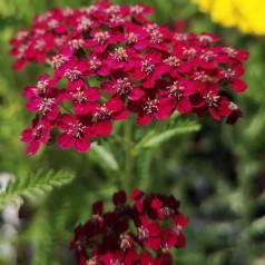 Achillea millefolium Sammetriese / Røllike