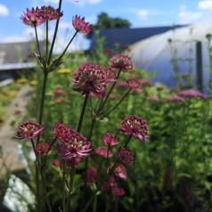 Astrantia hybrid Star of Beauty - Stjerneskærm
