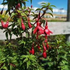 Fuchsia magellanica David - Havefuchsia