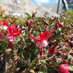 Fuchsia magellanica Madame Cornelissen / Havefuchsia