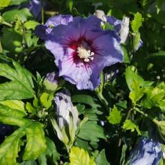 Hibiscus syriacus Oiseau Bleu / Syrisk Rose