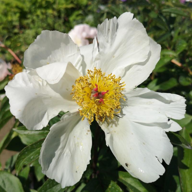 Paeonia lactiflora White Wings / Silkepæon