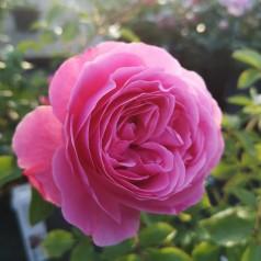 Rose Leonardo da Vinci® / Buketrose - Barrods