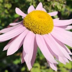 Tanacetum coccineum Robinsons Rosa / Chrysantemum