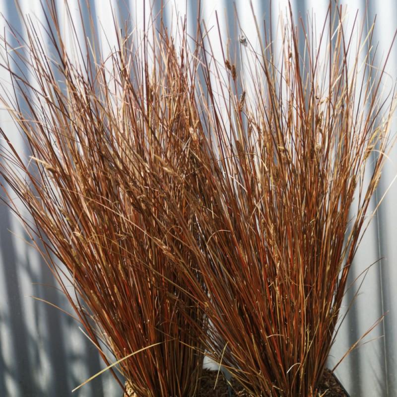 Carex buchananii Red Rooster / Brun Star