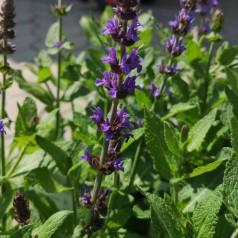 Salvia nemorosa Ostfriesland / Salvie