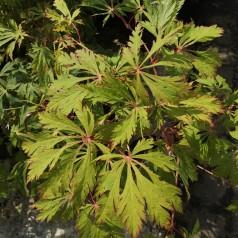 Acer japonicum Aconitifolium / Viftebladet Løn