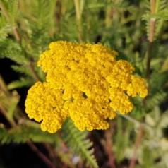 Achillea filipendulina Coronation Gold