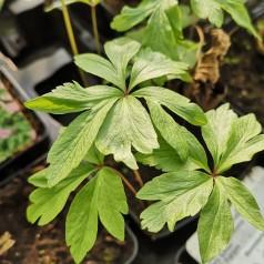 Anemone ranunculoides - Anemone