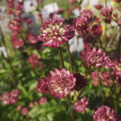 Astrantia hybrid Star of Beauty - Stjerneskærm