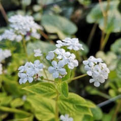 Brunnera macrophylla Betty Bowring - Kærmindesøster