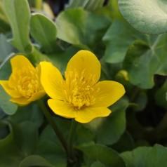 Caltha palustris / Engkabbeleje