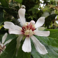 Calycanthus Venus - Hvid Kanelbusk
