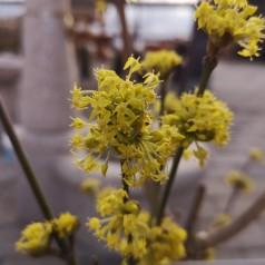 Cornus mas - Kirsebærkornel
