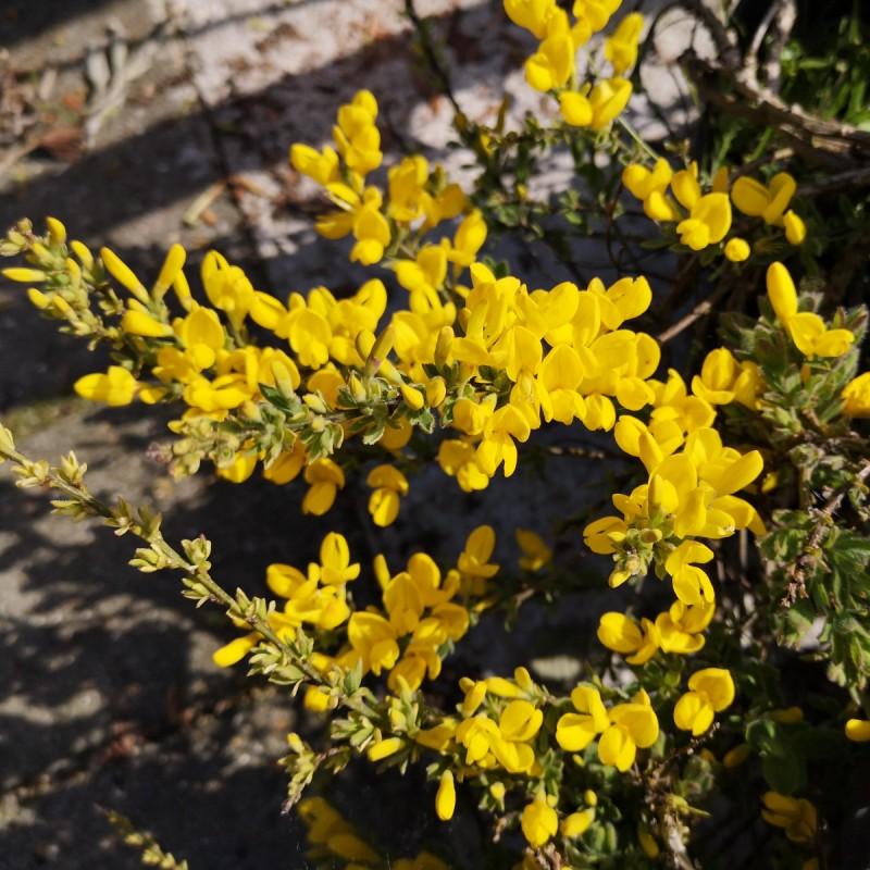 Cytisus decumbens - Krybende Dværggyvel