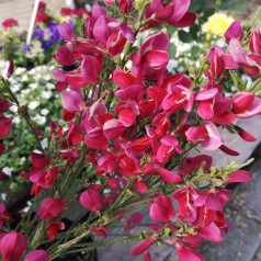Cytisus scoparius Boskoop Ruby / Rød Gyvel