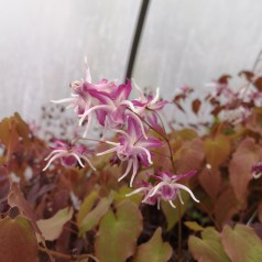 Epimedium grandiflorum Dark Beauty / Bispehue
