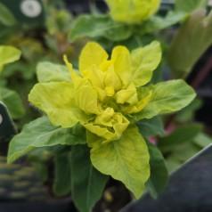 Euphorbia polychroma / Forårsvortemælk