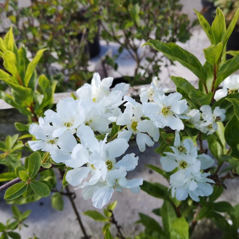 Exochorda macrantha The Bride - Perlebusk