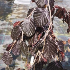 Fagus sylvatica Purple Fountain - Rødbladet Hængebøg