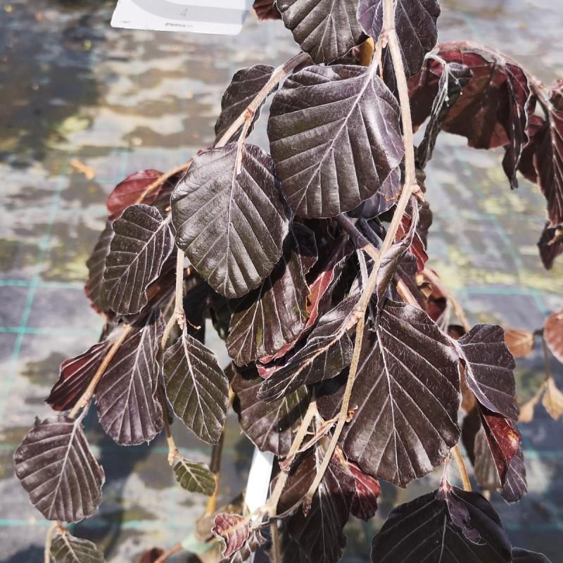 Fagus sylvatica Purple Fountain - Rødbladet Hængebøg
