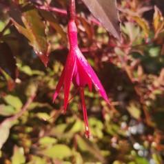 Fuchsia magellanica Riccartonii / Havefuchsia