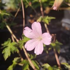 Geranium oxonianum Rebecca Moss - Storkenæb