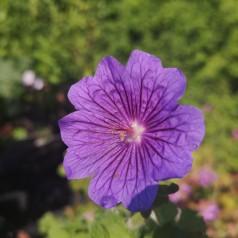 Geranium platypetalum / Storkenæb