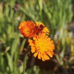 Hieracium aurantiacum - Pomeranshøgeurt