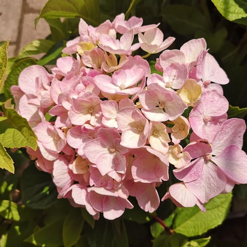 Hydrangea macrophylla Ayesha / Hortensia