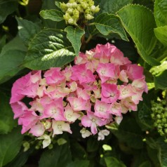 Hydrangea macrophylla Magical Coral / Hortensia