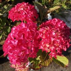 Hydrangea serrata Preziosa / Hortensia