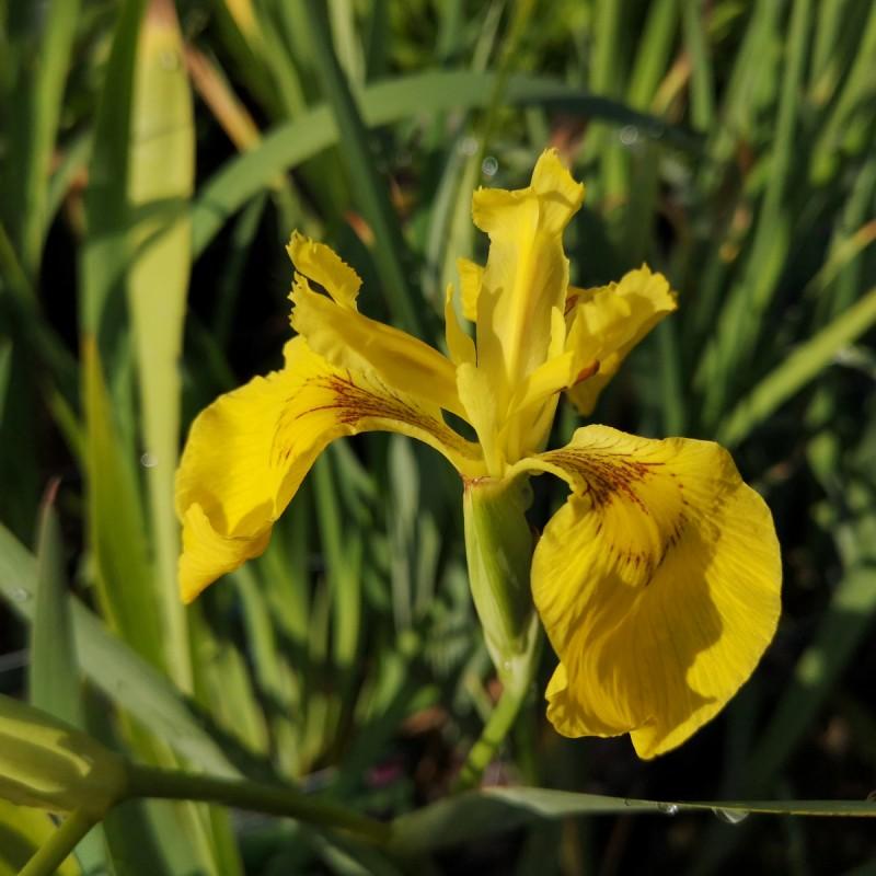 Iris pseudacorus / Gul Sværdlilje