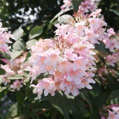 Kolkwitzia amabilis - Dronningebusk