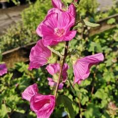 Lavatera Bredon Spring / Mamelukærmebusk