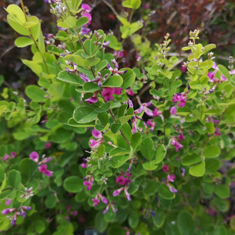 Lespedeza bicolor Summer Beauty - Kløverbusk