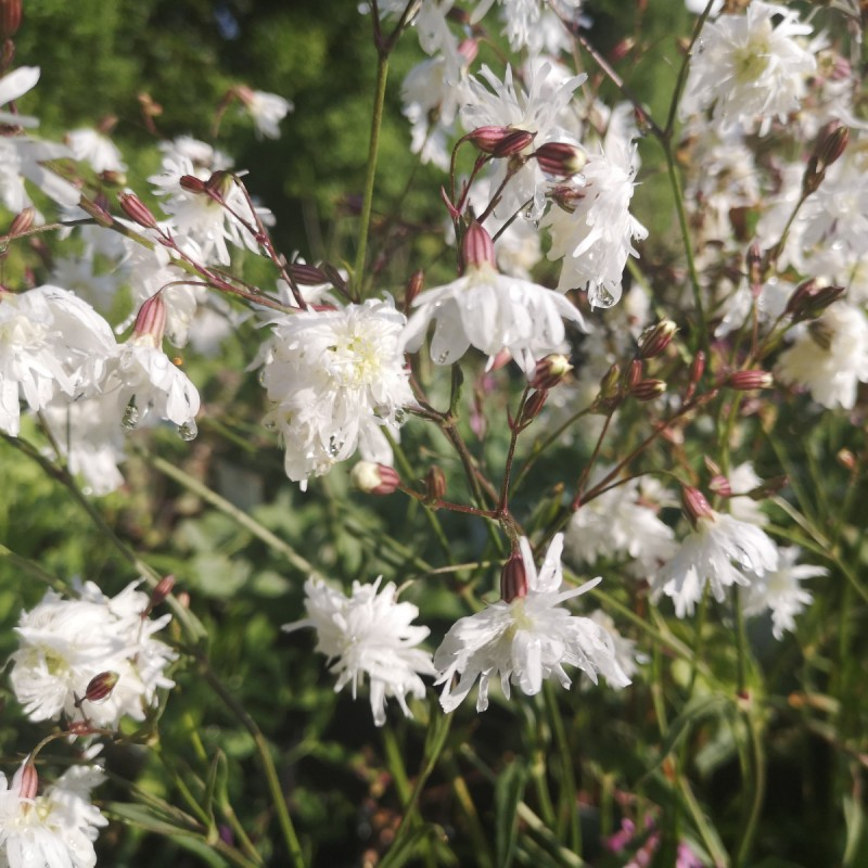 Lychnis flos-cucularis Petite Henri - Trævlekrone