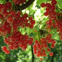 Ribsbuske Stanza 50-80 cm. - Bundt Med 10 Stk. Barrodsplanter